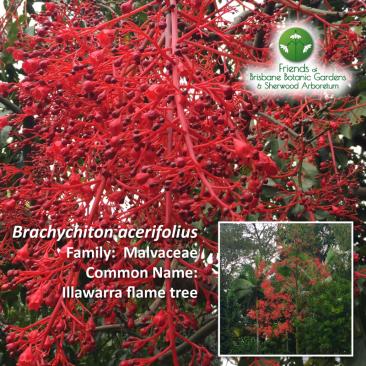 Brachychiton acerifolius