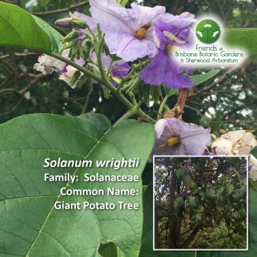 Solanum wrightii