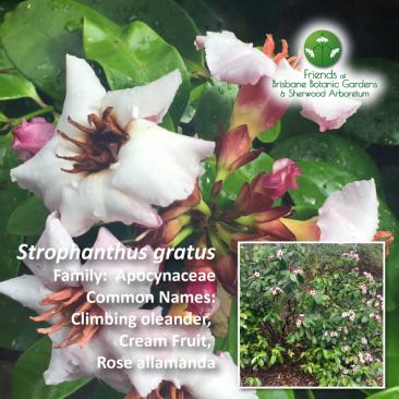 Strophanthus gratus