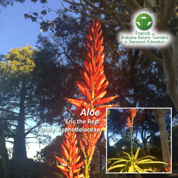 Aloe 'Eric the Red'