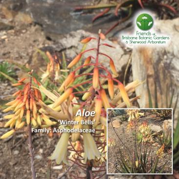 Aloe Winter Bells