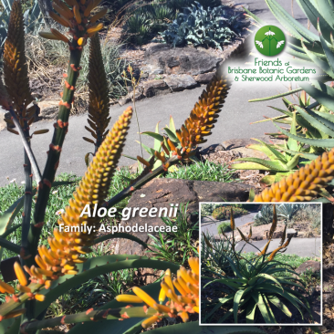 Aloe greenii