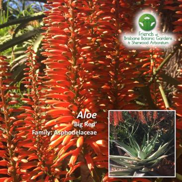 Aloe Big Red