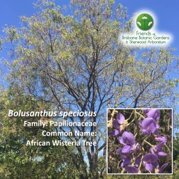 Bolusanthus speciosus