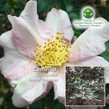 Camellia Exquisite