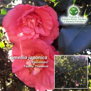 Camellia japonica Fashionata