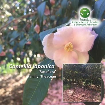 Camellia japonica Rosaflora