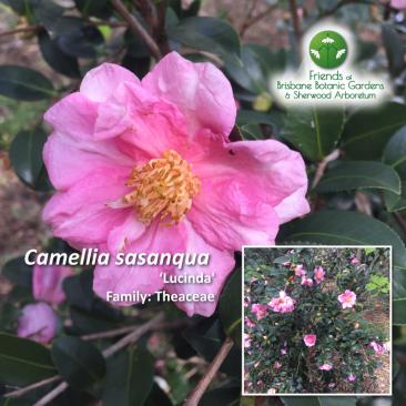 Camellia sasanqua Lucinda