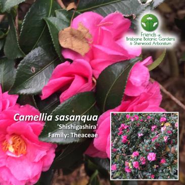 Camellia sasanqua Shishigashira