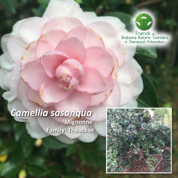 Camellia sasanqua mignonne