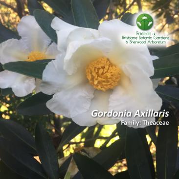 Gordonia Axillaris