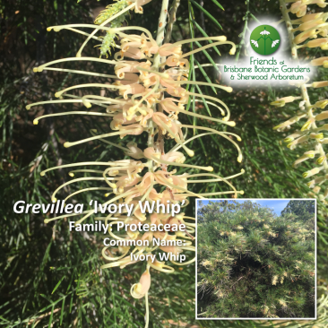 Grevillea 'Ivory-Whip'