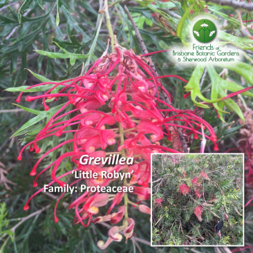 Grevillea - LIttle Robyn
