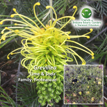 Grevillea - Lime and Soda