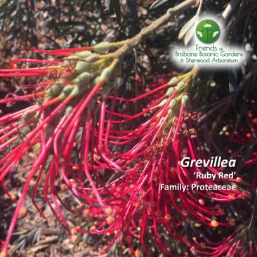 Grevillea 'Ruby Red'