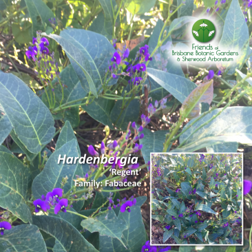 Hardenbergia 'Regent'