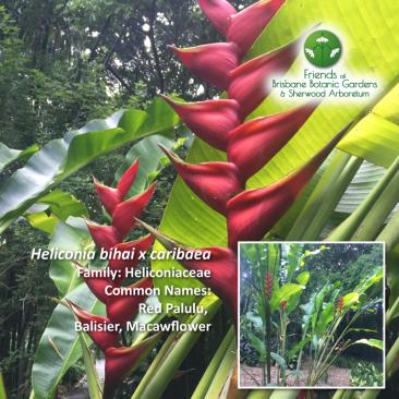 Heliconia bihai x caribaea