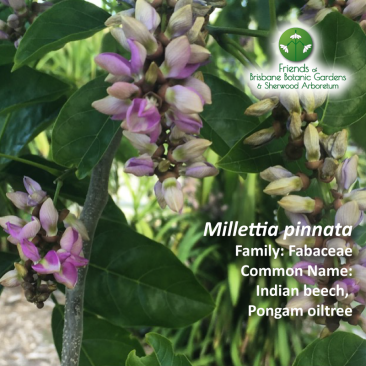 Milletia pinnata