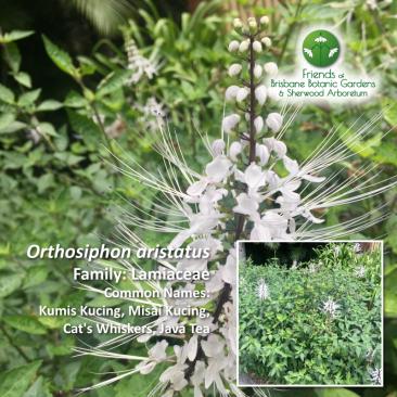 Orthosiphon aristatus