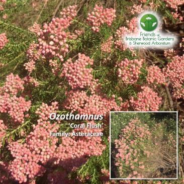 Ozothamnus 'Coral Flush'