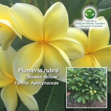 Plumeria rubra - Bowen Yellow