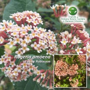 Rogeria amoena
