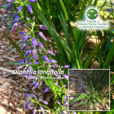 Dianella longifolia