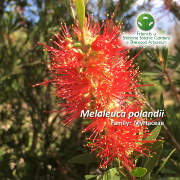 Melaleuca polandii