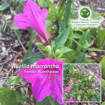 Ruellia macrantha