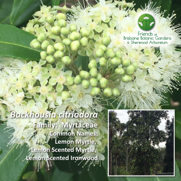 Backhousia citriodora