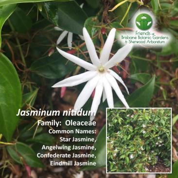 Jasminum nitidum
