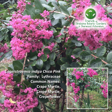 Lagerstroemia indica Chica Pink