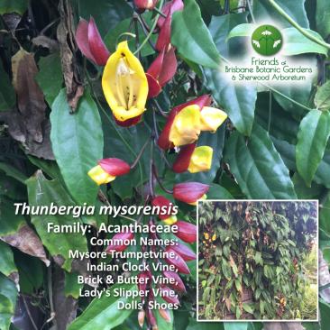 Thunbergia mysorensis