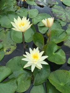 Brisbane Botanic Gardens Mount Coot Tha - WaterLily