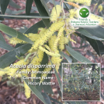 Acacia disparrima