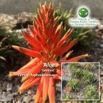 Aloe Gemini