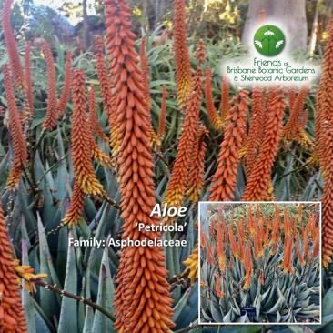 Aloe 'Petricola'