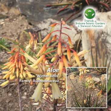 Aloe Winter Bells