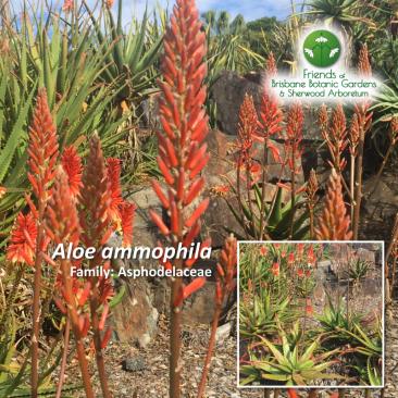 Aloe ammophila
