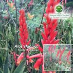 Aloe elgonica