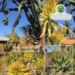 Aloe rabaiensis