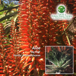 Aloe Big Red