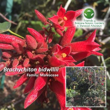 Brachychiton bidwillii