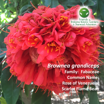Brownea grandiceps