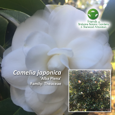 Camelia japonica Alba Plena