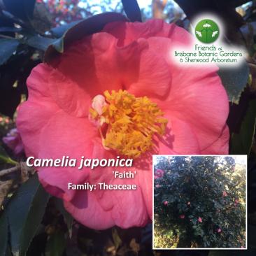 Camelia japonica Faith