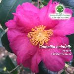 Camellia heimalis