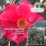 Camellia japonica Grand Slam