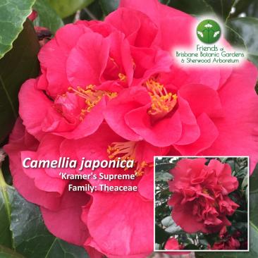Camellia japonica Kramer's Supreme