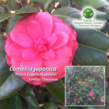 Camellia japonica Prince Eugene Napoleon
